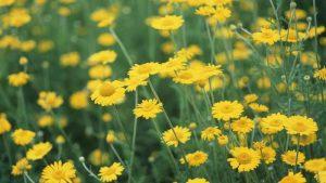Cúc hoa tươi - Thuốc phát tán phong nhiệt Thuốc phát tán phong nhiệt các vị thuốc đông y