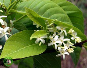 mức hoa trắng Chương 5: THUỐC THANH NHIỆT VỊ THUỐC ĐÔNG Y phần 2