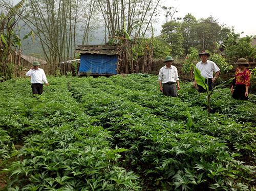 Cây Đương quy Nhật Bản Làm giàu từ việc phát triển cây dược liệu Lào Cai có nên không?
