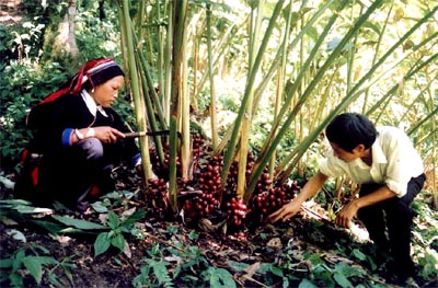 cây thuốc tỉnh hà giang Phát triển cây thuốc tỉnh Hà Giang cho các huyện nghèo