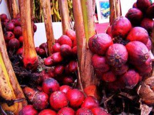 thảo quả muối tỉnh hà giang Phát triển cây thuốc tỉnh Hà Giang cho các huyện nghèo